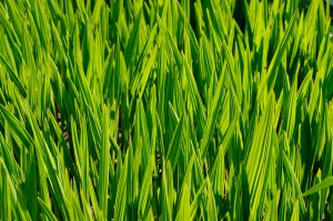 Creative Commons grass by Will Clayton_Flickr