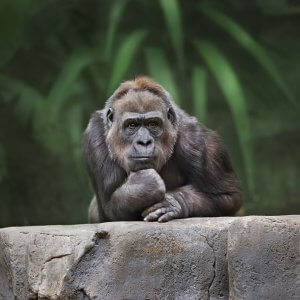 Gorilla thinking_Image used under license from Shutterstock